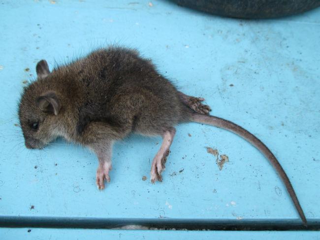 afbeelding rat